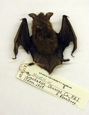 Image of a bat from the Acadian University Museum