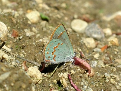Early Hairstreak in Quebec. Photo by Peter Hall