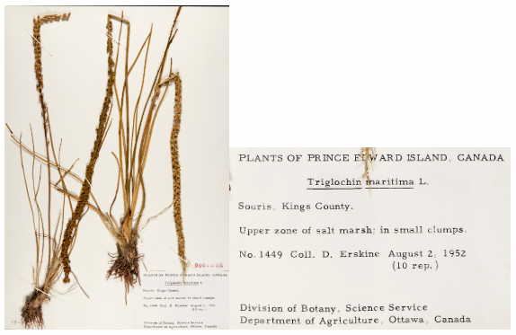 This herbarium specimen of Sea Arrowgrass, Triglochin maritime L. was collected in Souris in 1952 by David Erskine.