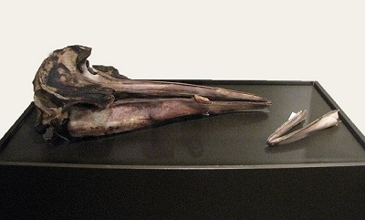 Sowerby's Beaked Whale skull on display at the New Brunswick Museum